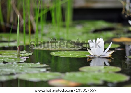Garden lily pads after a rain in Chapel Hill, North Carolina - stock photo