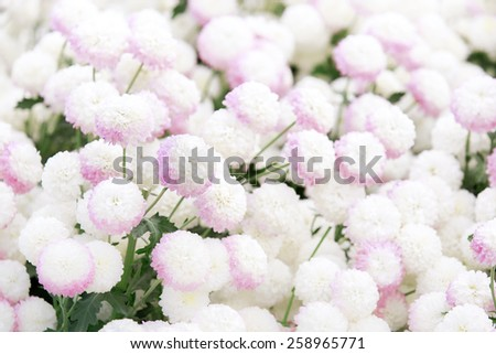 Garden of Chrysanthemum flower - stock photo