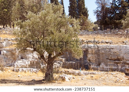 Garden of Gethsemane. Thousand years old olive trees. Authentic place, Jerusalem, Israel  - stock photo