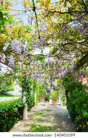 garden path with a pergola overgrown with Chinese Wisteria tendrils - stock photo