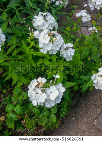 Garden phlox (Phlox paniculata) is a species of flowering plant in the family Polemoniaceae.