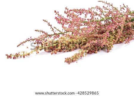 Garden plant sorrel is isolated on a white background - stock photo