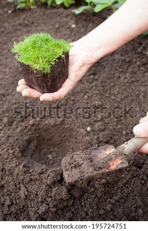 garden planting - stock photo