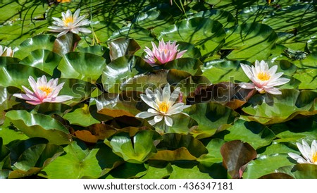 Garden pond with flowers of water lilies and lily pad - stock photo