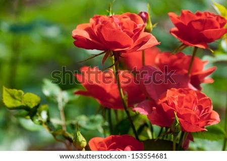 Garden red roses - stock photo