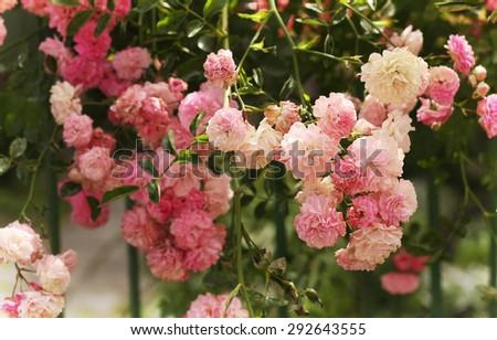 Garden roses - stock photo