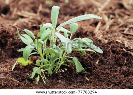 Garden sage growing in an organic herb garden. Extreme shallow depth of field with some blur on lower portion of image. - stock photo
