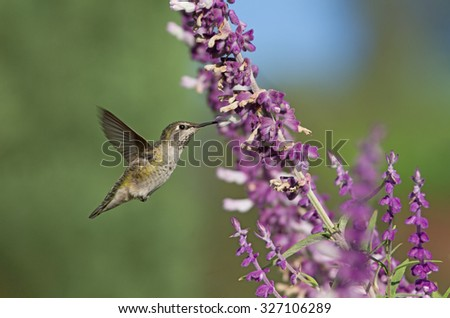 Garden scene: a hummingbird (most likely a female Anna's) hovering and feeding on Mexican Bush Sage. Photo taken in Southern California. - stock photo