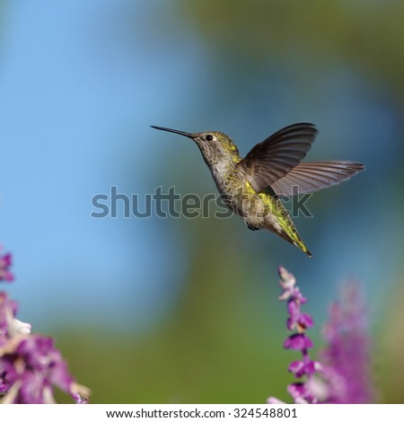 Garden scene: a hummingbird (probably Anna's) hovering and feeding on Mexican Bush Sage. Photo taken in Southern California.