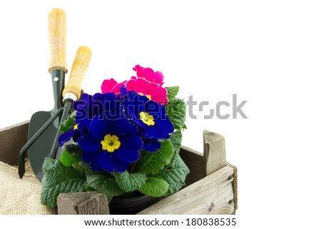 garden shovel and garden rake in wooden crate and primrose
