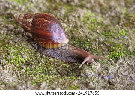 Garden Snail (Cornu aspersum) is a species of land snail. As such it is a terrestrial pulmonate gastropod mollusc in the family Helicidae, which include the most commonly familiar land snails. - stock photo