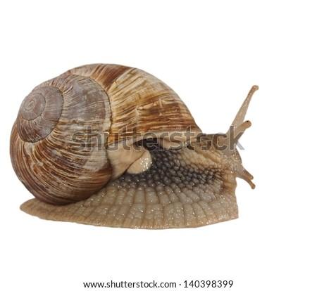 Garden snail (Helix aspersa) isolated on white - stock photo