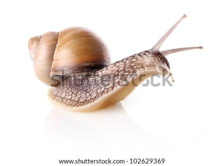 garden snail (Helix aspersa) isolated on white background - stock photo