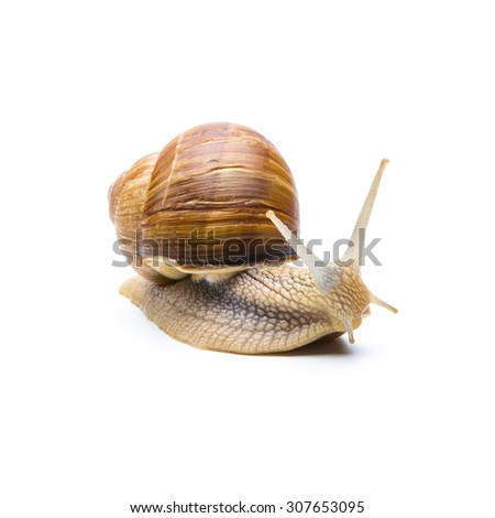 garden snail (Helix aspersa) isolated on white background - stock photo