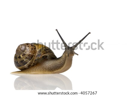 Garden snail in front of a white background - stock photo