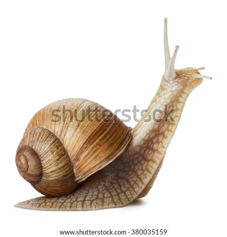Garden snail isolated on white. - stock photo