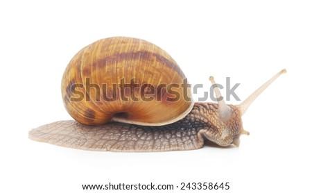 Garden snail isolated on white background - stock photo
