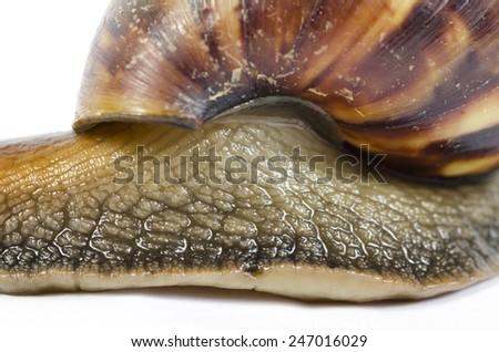 Garden snail isolated on white background. - stock photo