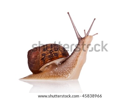 Garden snail looking up isolated on a white background - stock photo