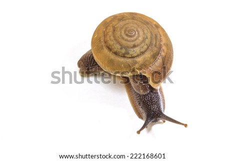 Garden snail on white background close up - stock photo