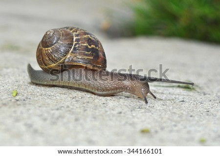 Garden Snail - This snail slowly makes its way across a sidewalk.