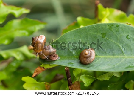 Garden snails with operculum in the garden close up  - stock photo