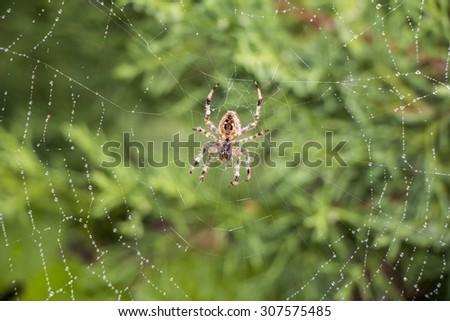 Garden spider (Argiope aurantia) in its net - stock photo