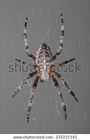 Garden spider in web