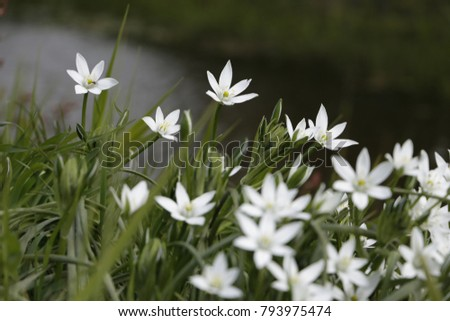 Garden star bethlehem white flowers growing stock photo royalty garden star of bethlehem white flowers growing from flower bulbs and blooming in the spring mightylinksfo