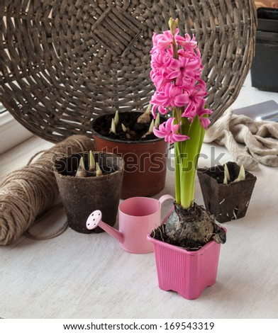 Garden still life with watering, peat pots with plants and  pink  hyacinth - stock photo
