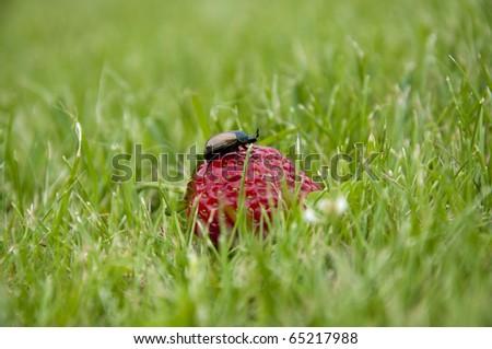 Garden strawberry - stock photo