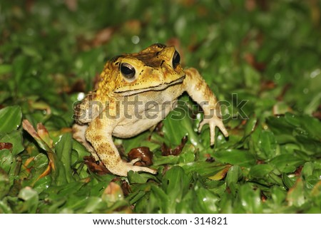 Garden toad - stock photo
