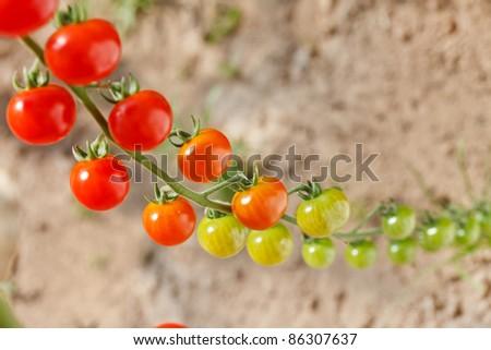 garden tomatoes - stock photo