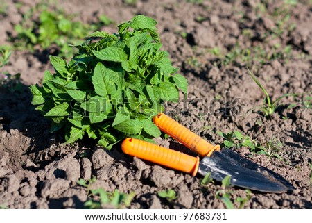 Garden Tools and Tomato Seedlings in the Beds. Planting Seedlings of Tomatoes - stock photo