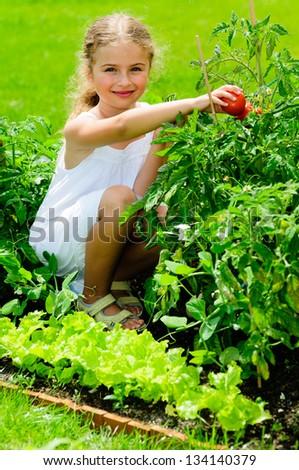 Garden, vegetable, gardening - lovely girl picking ripe tomatoes - stock photo