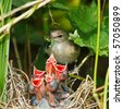 Garden Warbler (Sylvia borin) by a nest with baby bird. - stock photo