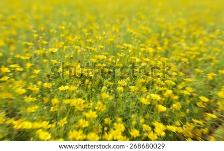 Garden with Bellis Perennis flower known as common daisy in radial blur style - stock photo