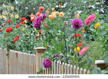 Garden with dahlias - stock photo