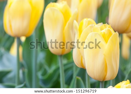 garden with flowers of yellow tulips - stock photo