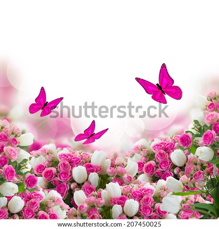 garden with fresh pink roses and white tulips flowers and butterflies  on white background - stock photo