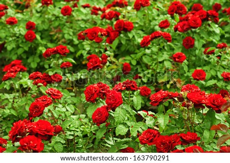 Garden with fresh red roses, floral background