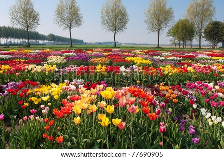 garden with hundreds of different kinds of tulips - stock photo