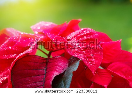 garden with red poinsettia flowers or christmas star close up - stock photo