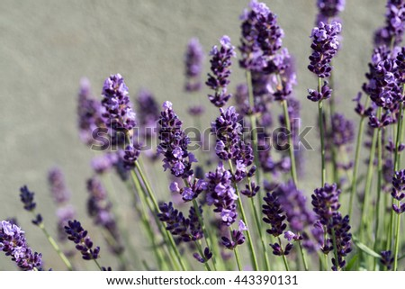 Garden with the flourishing lavender  - stock photo