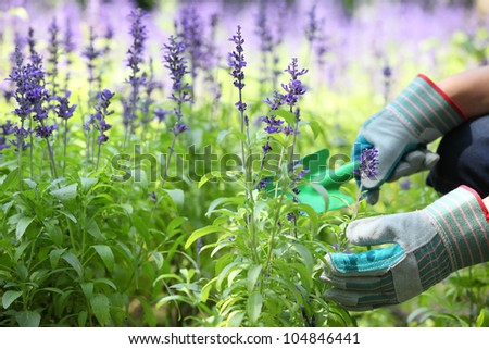 Garden worker dig up lavender flower bed. - stock photo