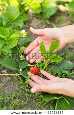 Garden Works. hand with strawberries in the garden - stock photo