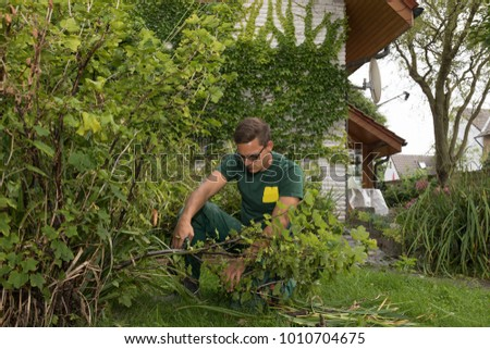 gardener at work cutting the leaves of a red current plant