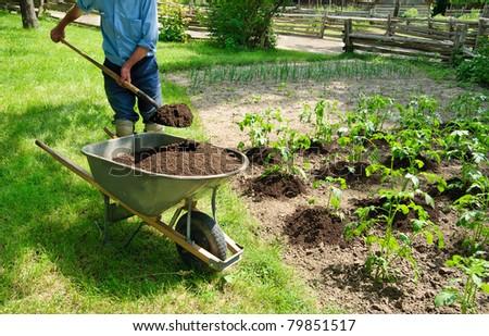 Gardener earthing up potato plants - stock photo