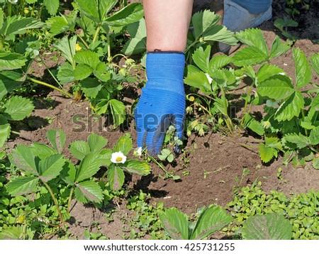 Gardener hand in blue glove weeding strawberries close up.         - stock photo