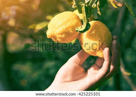 gardener hand touching ripe lemon on a tree - stock photo